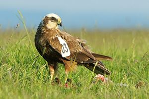 Wing-tagged Marsh Harrier. Photo © Phil Haynes